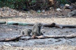 Baboons foraging_01