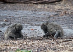 Baboons foraging_02
