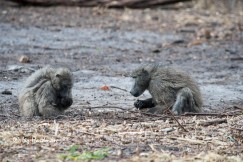Baboons foraging_03