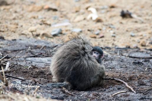Baby baboon_curiosity