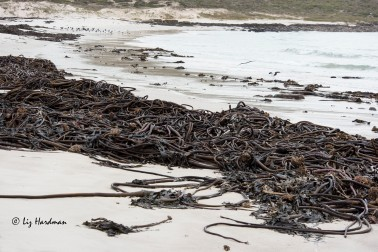 Kelp washed ashore after the storm