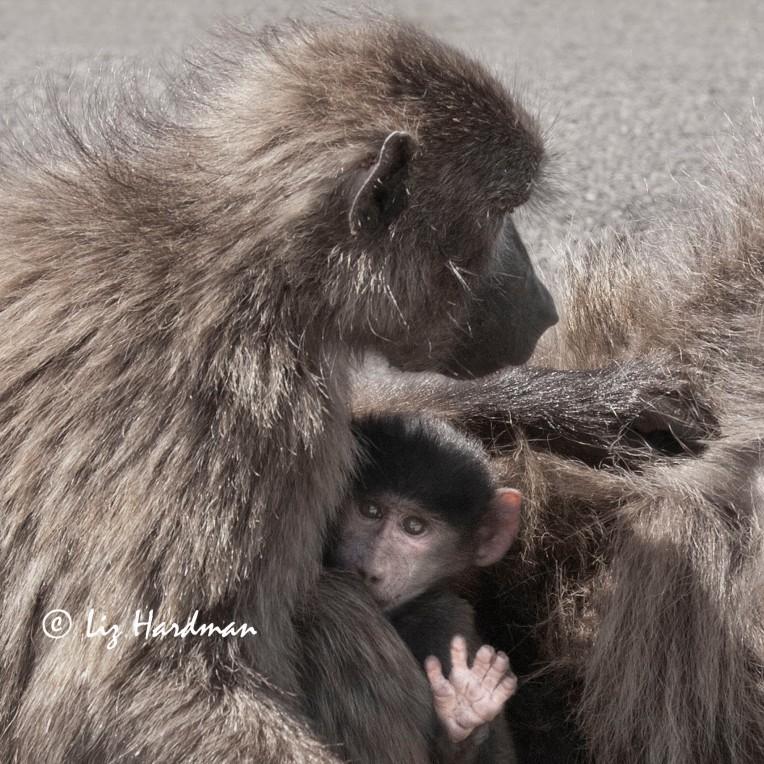 Baby baboon hi