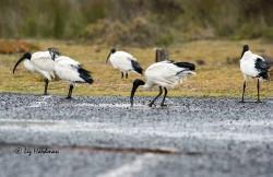 Sacred ibis around the rain puddles