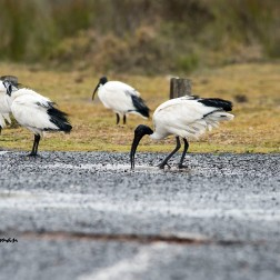 Sacred ibis around the rain puddles