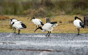 Sacred ibis indulging in fresh rainwater