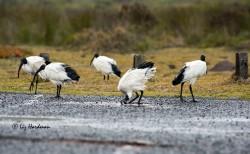 Sacred ibis bill dipping in fresh rainwater