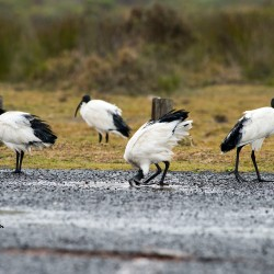 Sacred ibis bill dipping in fresh rainwater