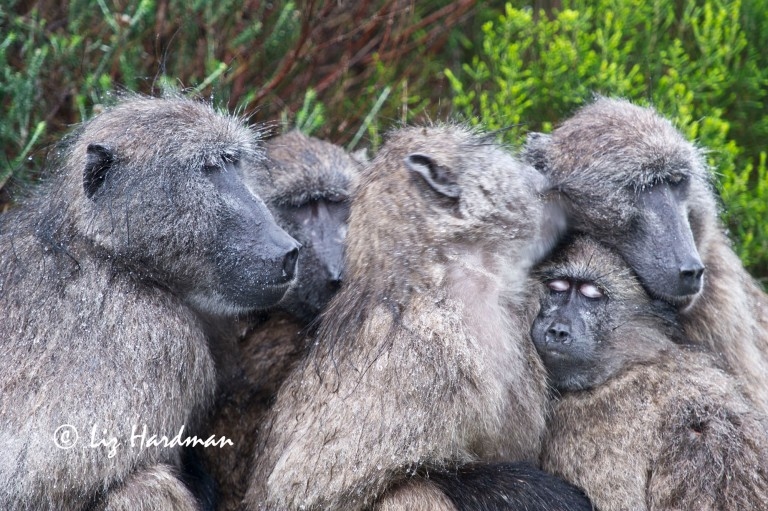 Baboons huddling together to keep warm.