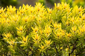 Glorious yellow, Leucadendron laureolum.