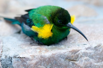Malachite sunbird in breeding plumage