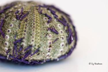 Sea urchin shell_01