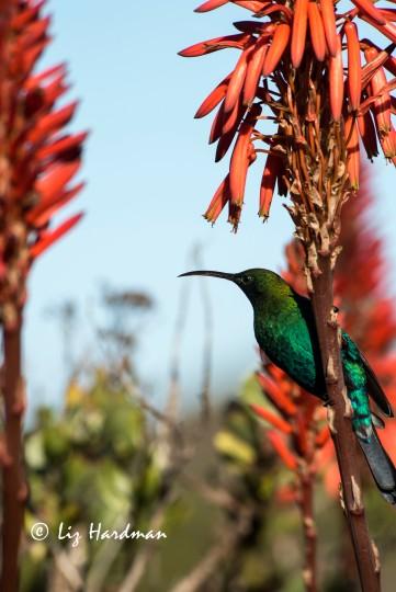 Malachite sunbirds are useful pollinators for the aloe species.