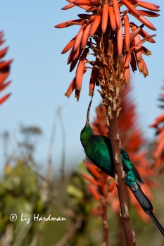 The Malachite's curved bill is covered with pollen from the aloe blooms.