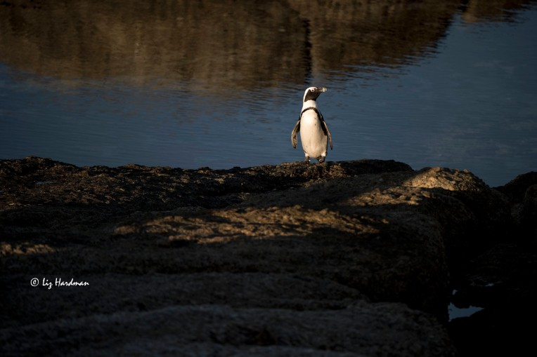 Vulnerable penguin in the early dawn light.