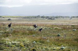 The charge as the Bontebok chases the baboon.