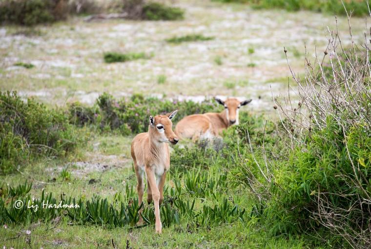 Bontebok young calves