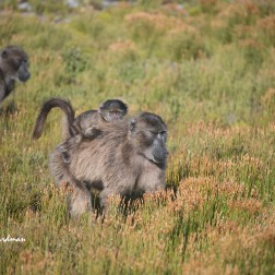 Chacma baboons in restio field.