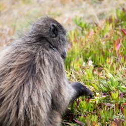 Chacma baboon picking sourfigs.