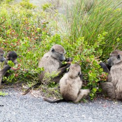 A favourite scene - juveniles with a baby picking the berries from Rhus crenata.