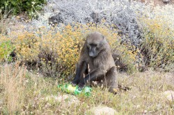 Every piece of plastic is a target for inspection by the baboons.