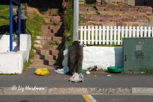 Bin raid in Simons Town