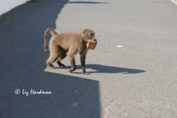 Bread has a high calorie reward for a baboon.