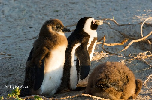African penguin adult and chick