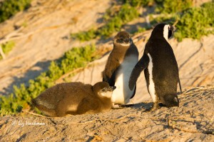 African penguin chicks_Boulders beach