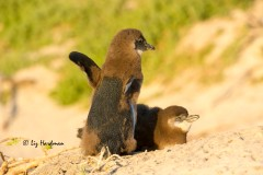 AFrican penguin chicks_Boulders Beach