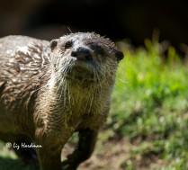 Aonyx capensis _ Cape clawless otter False Bay coastline