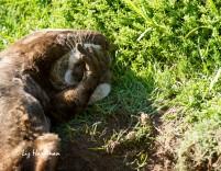 Cape clawless otter sand bathing _ False Bay coast.