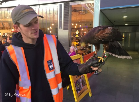 Max Bell handling Pluto the Harris Hawk