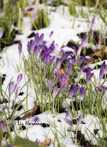 Crocuses spring forth snow or shine.