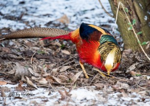 A golden pheasant strutted around foraging in the leaf litter.