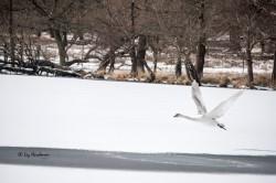 Swan lift-off.