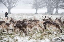 Fallow deer Richmond Park