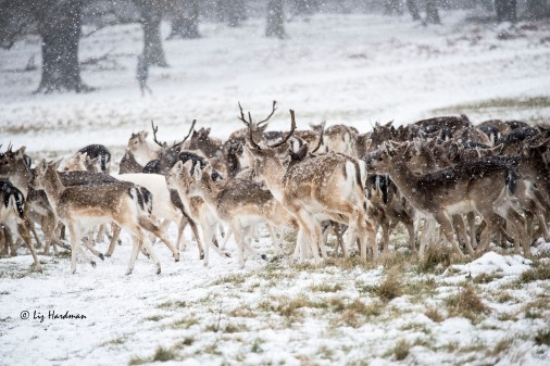 Fallow deer with yearlings