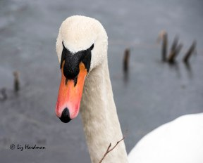 Mute swan looking intimidating.
