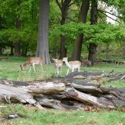 Urban wildlife - deer and people