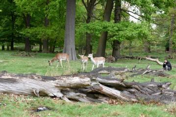 Urban wildlife - deer and people