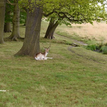 Young fallow buck adorned with antlers, Richmond Park