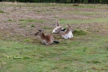 Working in pairs, jackdaws pluck deer fur.