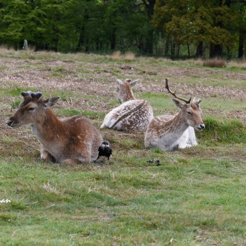 The deer appear to be completely unfazed by the jackdaws cheeky behaviour.
