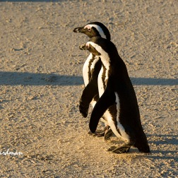 A pair of African penguins stepping out.