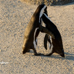 African penguins engaging in the two step tango.