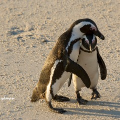 A pair of African penguins in a chin tuck.