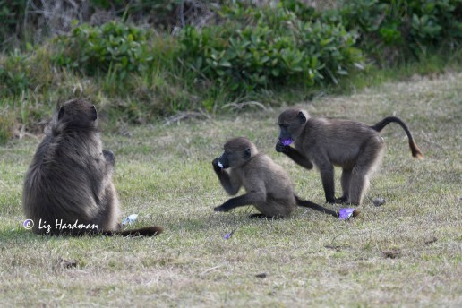 Baboons_ condom wrappers_01