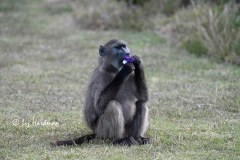 Baboon_Grape flavoured condom