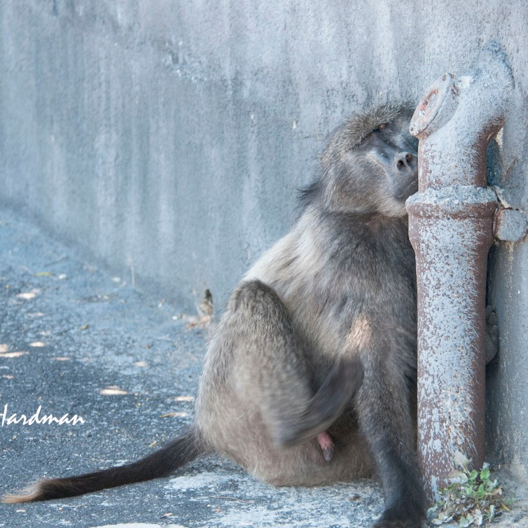 A forlorn young dispersing baboon in an urban setting