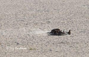 Wild Namib horses sandbath to rid their hides of pests.